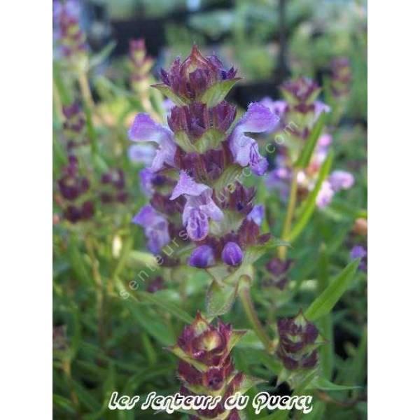 Prunella hyssopifolia - Brunelle à feuille d'hysope