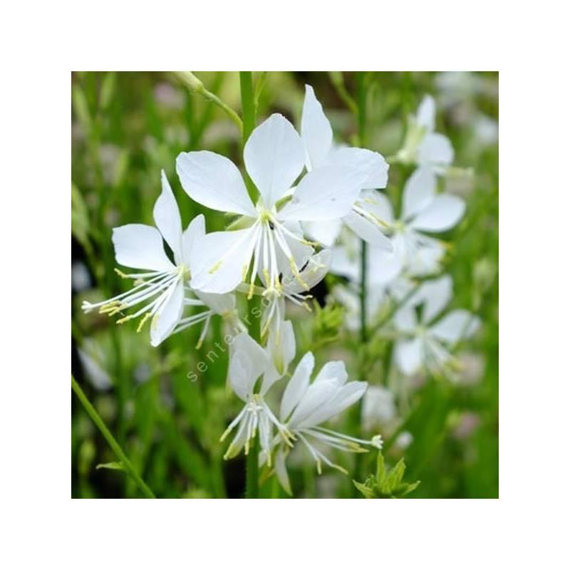 Gaura lindheimeri 'Brise Fraiche' - Gaura blanc pur