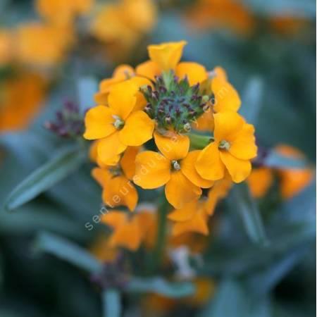 Erysimum allionii - Giroflée arbustive orange