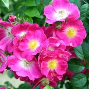 Rosa 'American Pillar' - Rosier liane rose