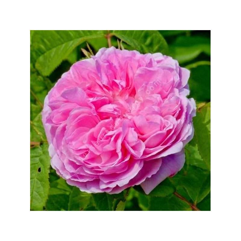 Rosa 'Jacques Cartier' (Portland) - Rosier buisson rose double