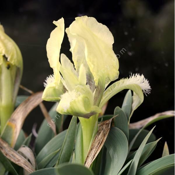 Iris suaveolens - Iris des rocailles
