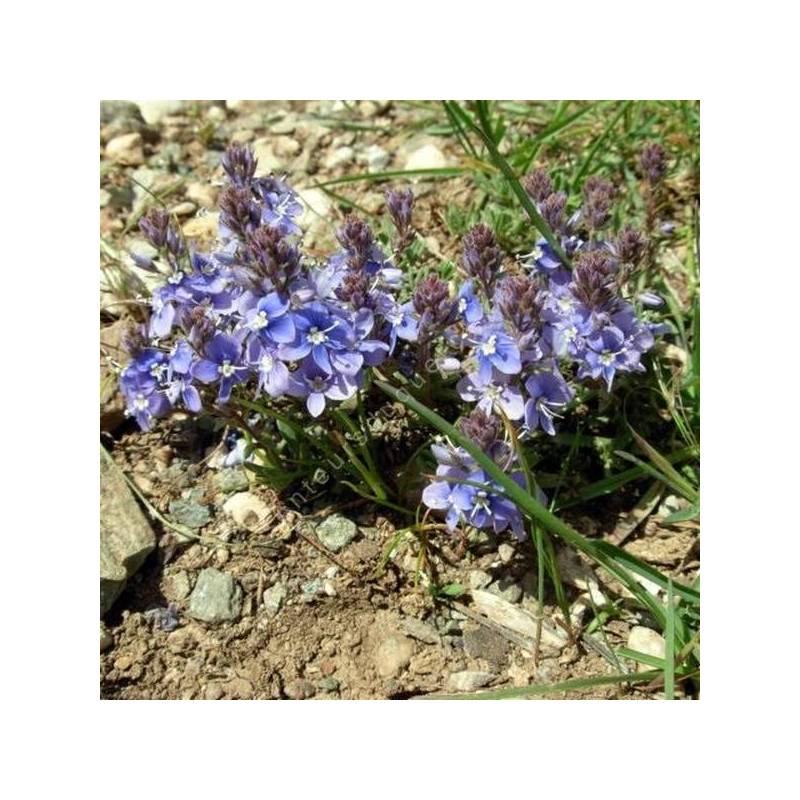 Veronica thymoides subsp. pseudocinerea - Véronique