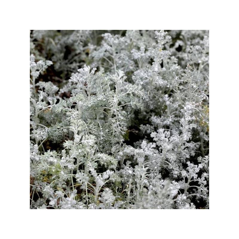 Artemisia 'Little Mice' - Armoise 'Petite Souris'