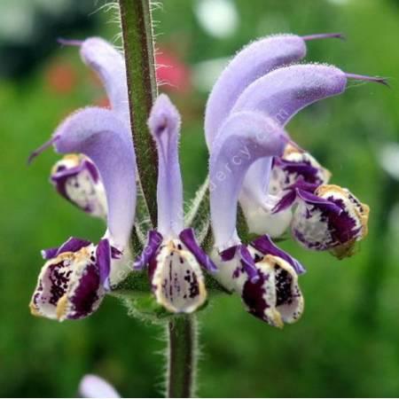 Salvia indica