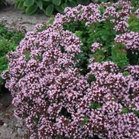 Origanum vulgare 'Compactum' - Origan commun compact