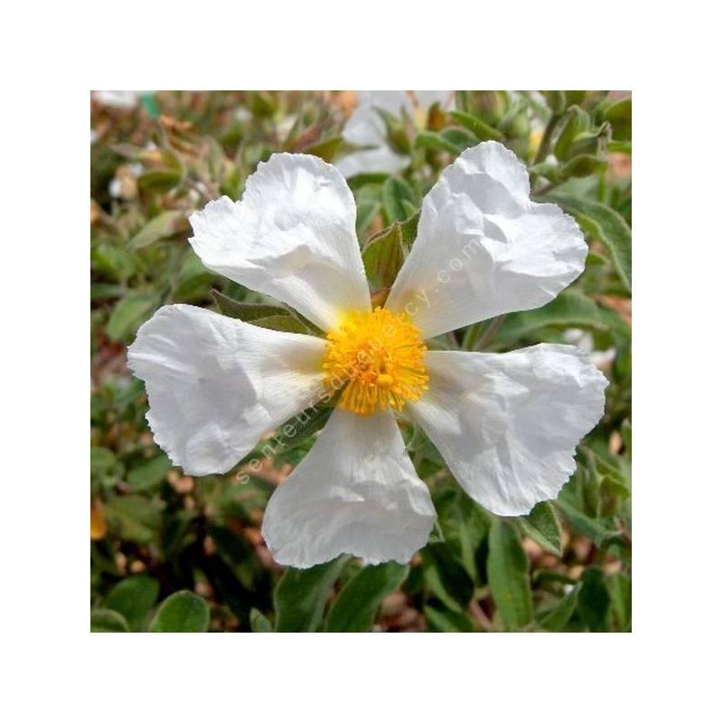 Cistus x canescens f. albus - Ciste