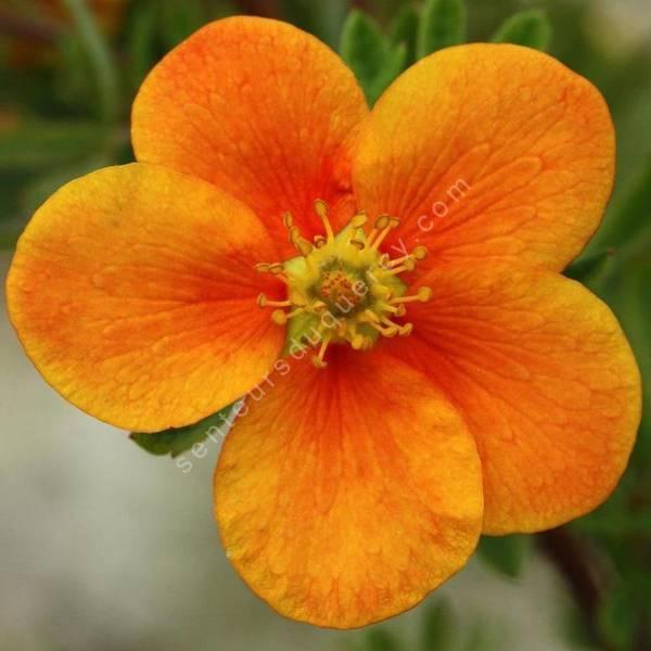 Potentilla fruticosa 'Hopley's Orange' - Potentille arbustive à fleur orange