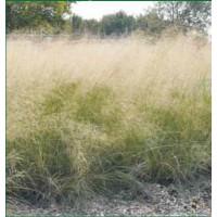 Eragrostis elliottii - Herbe d'amour bleue