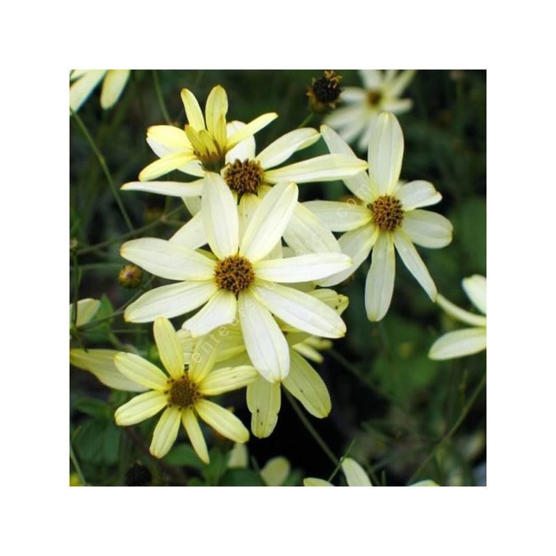 Coreopsis verticillata 'Moonbean' - Oeuil de jeune fille jaune clair