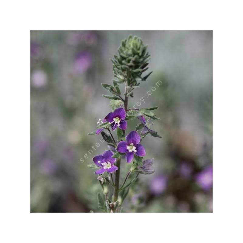 Veronica polifolia - Véronique grisâtre
