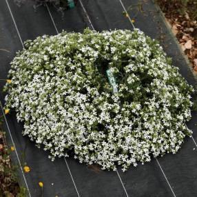 Saponaria ocymoides 'Snow Tip' - Saponaire à fleur blanche