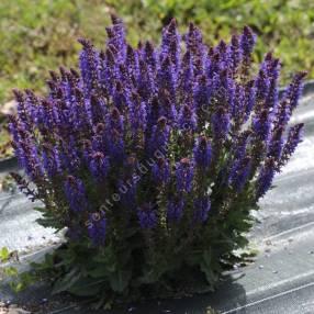 Salvia x sylvestris 'April Night' - Sauge des bois