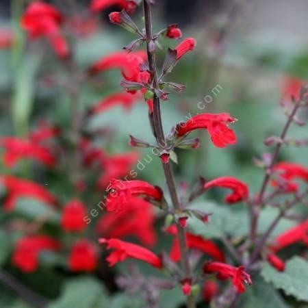 Salvia roemeriana - Sauge de Roemer