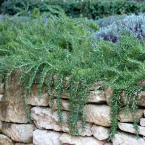 Rosmarinus officinalis 'Riviera' - Romarin tapissant