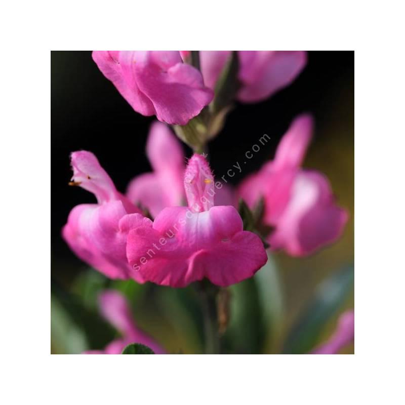 Salvia greggii 'Mirage Rose' - Sauge arbustive compacte rose