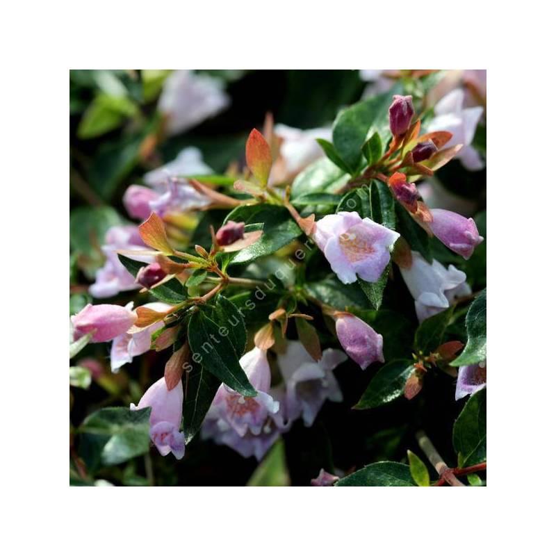 Abelia 'Edward Goucher' - Abélie à fleur rose