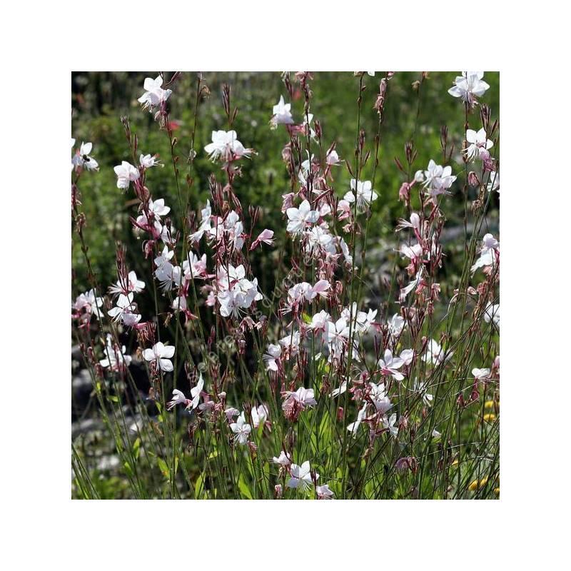 Gaura lindheimeri 'Blanc Étincelant' - Gaura blanc compact