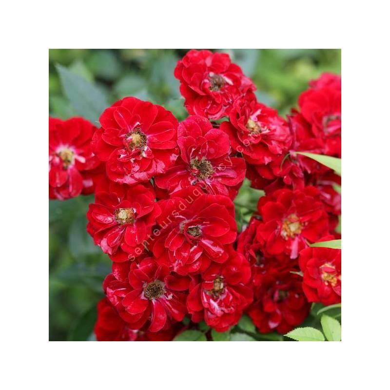 Rosa x polyantha 'Fairy Rood' - Rosier paysage rose foncé