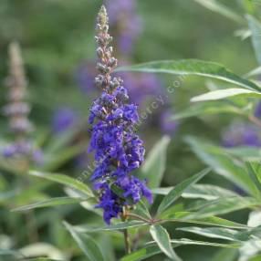 Vitex agnus-castus 'Delta Blues' - Gattilier bleu compact