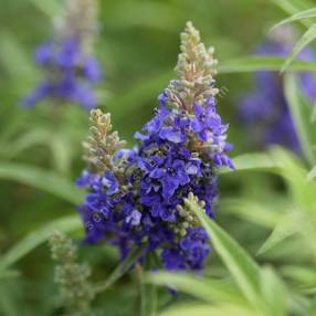 Vitex agnus-castus 'Blue Puffball' - Gattilier bleu nain