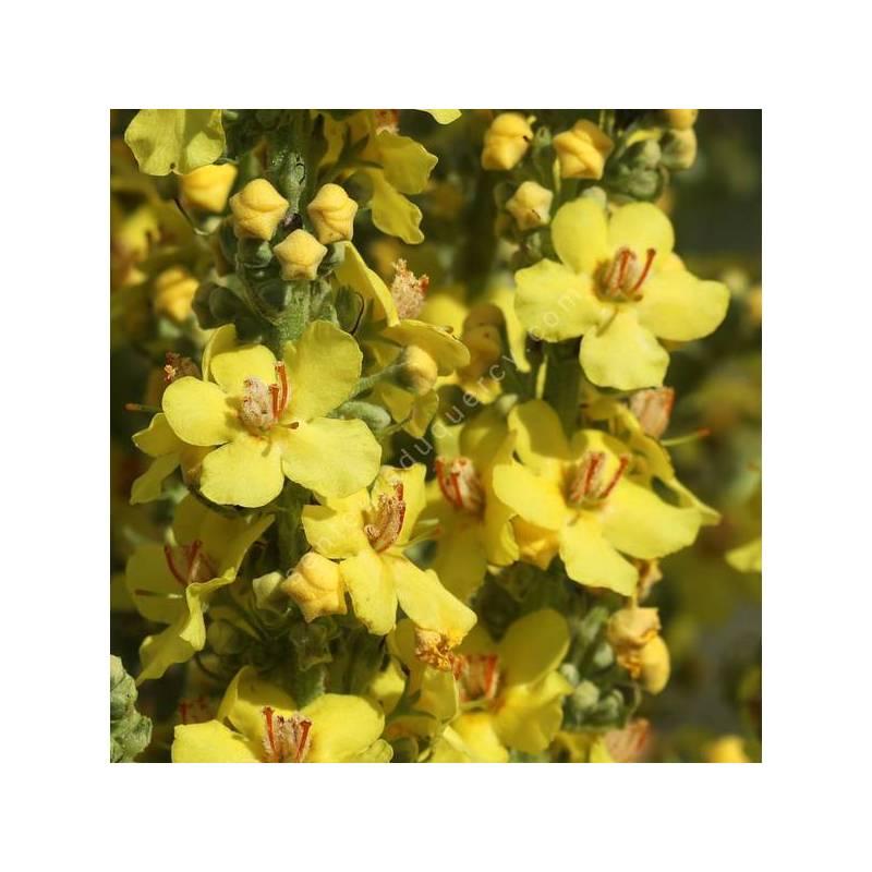 Verbascum thapsus - Bouillon blanc