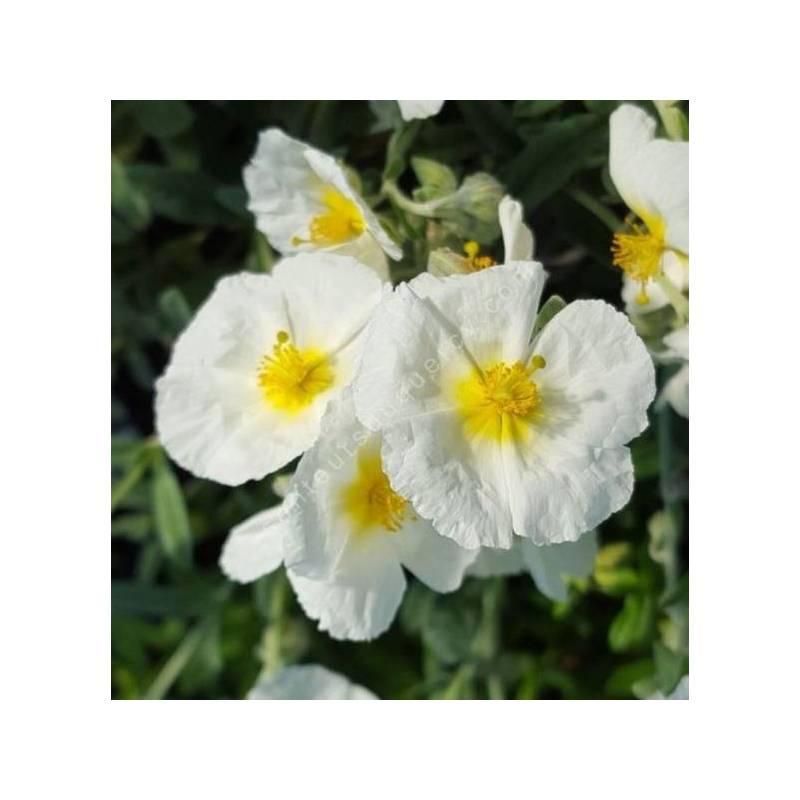 Helianthemum 'Reine des Neiges'- Hélianthème à fleur blanche