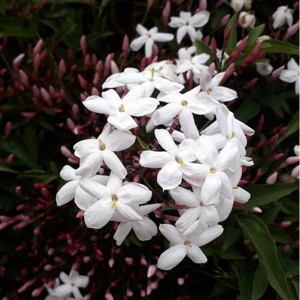 Jasminum officinalis - Jasmin blanc