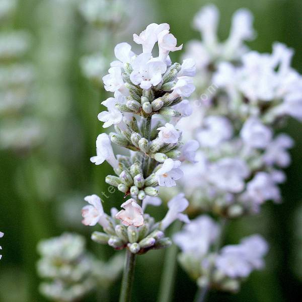 Lavandula angustifolia 'Blanche Parfumée' - Lavande blanche