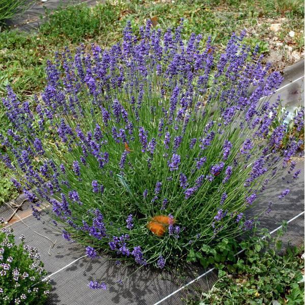 Lavandula angustifolia 'Pacific Blue' - Vraie Lavande