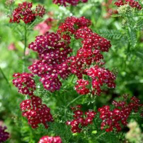 Achillea millefolium 'Petra' - Achillée millefeuille rouge vif