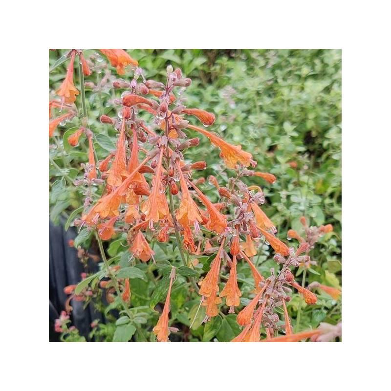 Agastache aurantiaca - Agastache orange