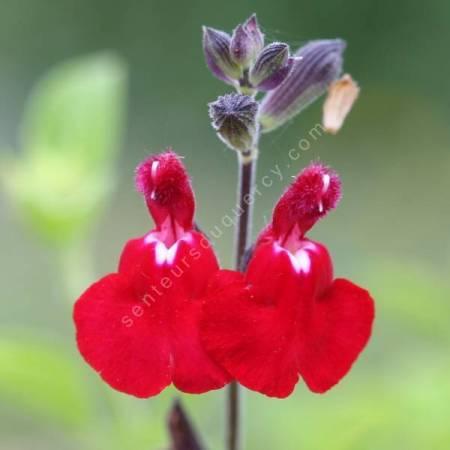 Salvia 'Cœur Blanc' - Sauge arbustive rouge