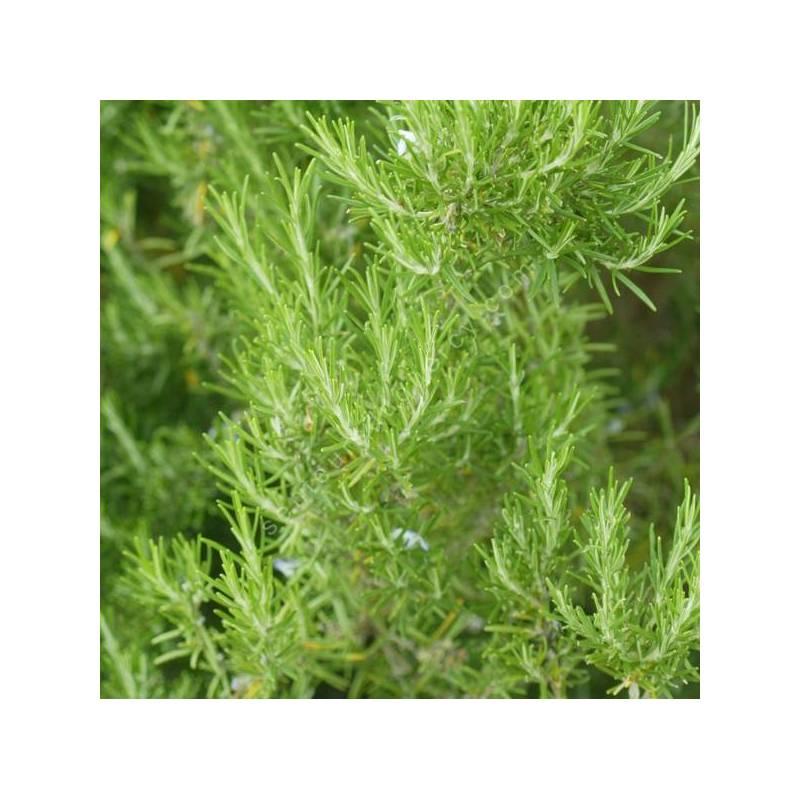 Rosmarinus officinalis 'Green Ginger' - Romarin gingembre