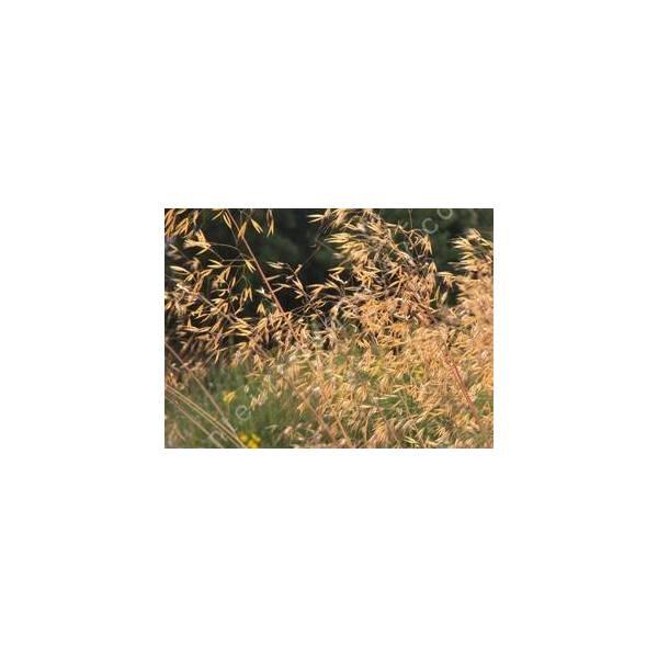 Stipa gigantea stipe g ante gramin e pour jardin sec for Graminee geante