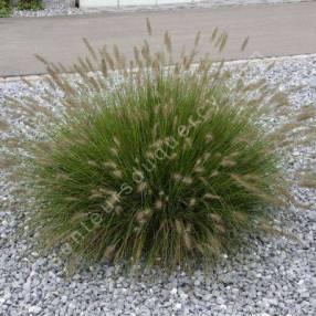 Pennisetum alopecuroides 'Little Bunny' - Herbe aux écouvillons naine