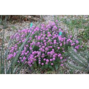 Aethionema armenum 'Warley Rose' - Aéthionema d'Arménie