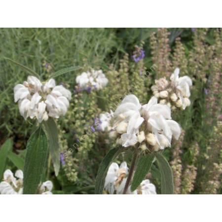 Phlomis anisodonta - Sauges de Jérusalem