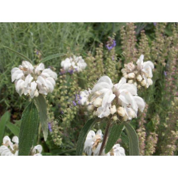 phlomis anisodonta sauge de j rusalem blanche vivace de jardin sec. Black Bedroom Furniture Sets. Home Design Ideas