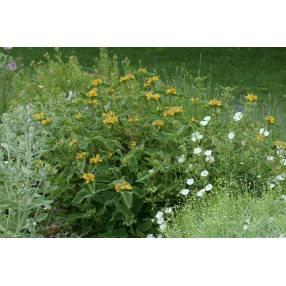 Phlomis bourgaei - plante