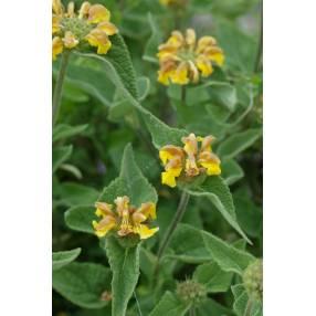 Phlomis bourgaei