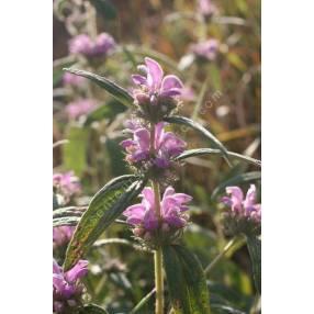 Phlomis herba-venti - Sauge de Jérusalem herbe au vent