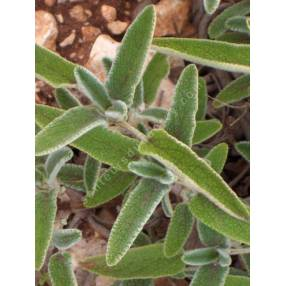 Phlomis longifolia - Sauge de Jérusalem à longue feuille