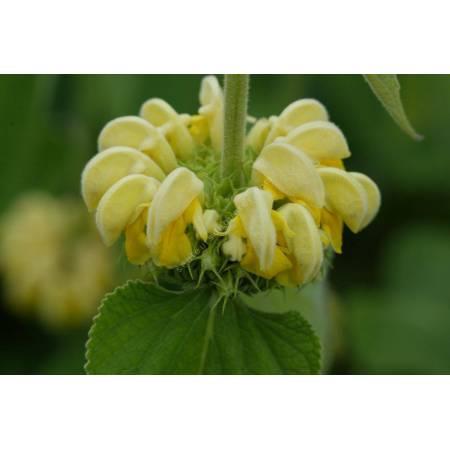 Phlomis russeliana - Sauge de Jérusalem de Russell