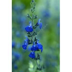 Sauge arbustive bleue - Salvia chamaedryoides var. isochroma