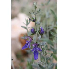 Teucrium fruticans 'Azureum', Germandrée arbustive