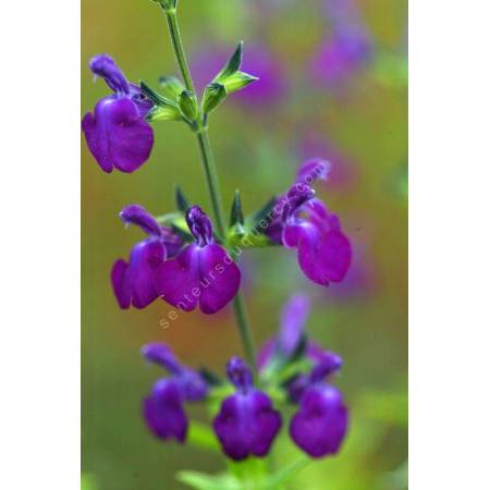 Salvia 'Christine Yeo' - Sauge arbustive violette