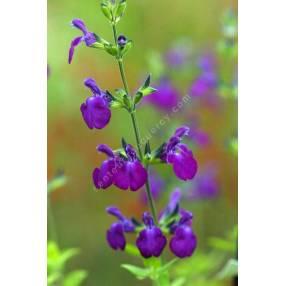 Sauge arbustive violette 'Christine Yeo'