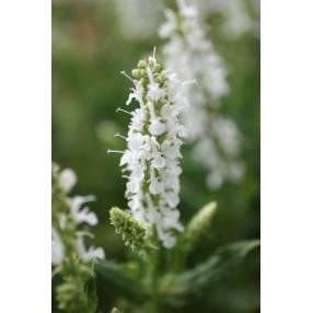 Salvia sylvestris 'Schneehügel' - Sauge des bois blanche