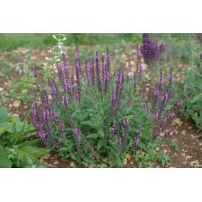 Salvia x sylvestris 'Reine Rose' - Sauge des bois rose